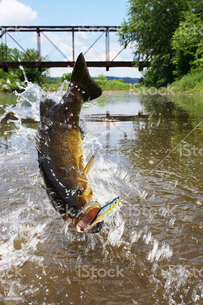 Smallmouth Bass 1441 stock photo
