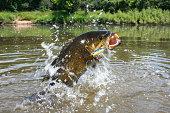 Smallmouth Bass 1446