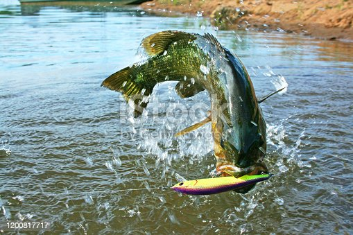 smallmouth bass jumping at the surface caught with a minnow imitation lure