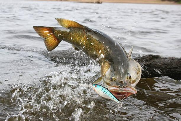 Smallmouth Bass 1517 stock photo