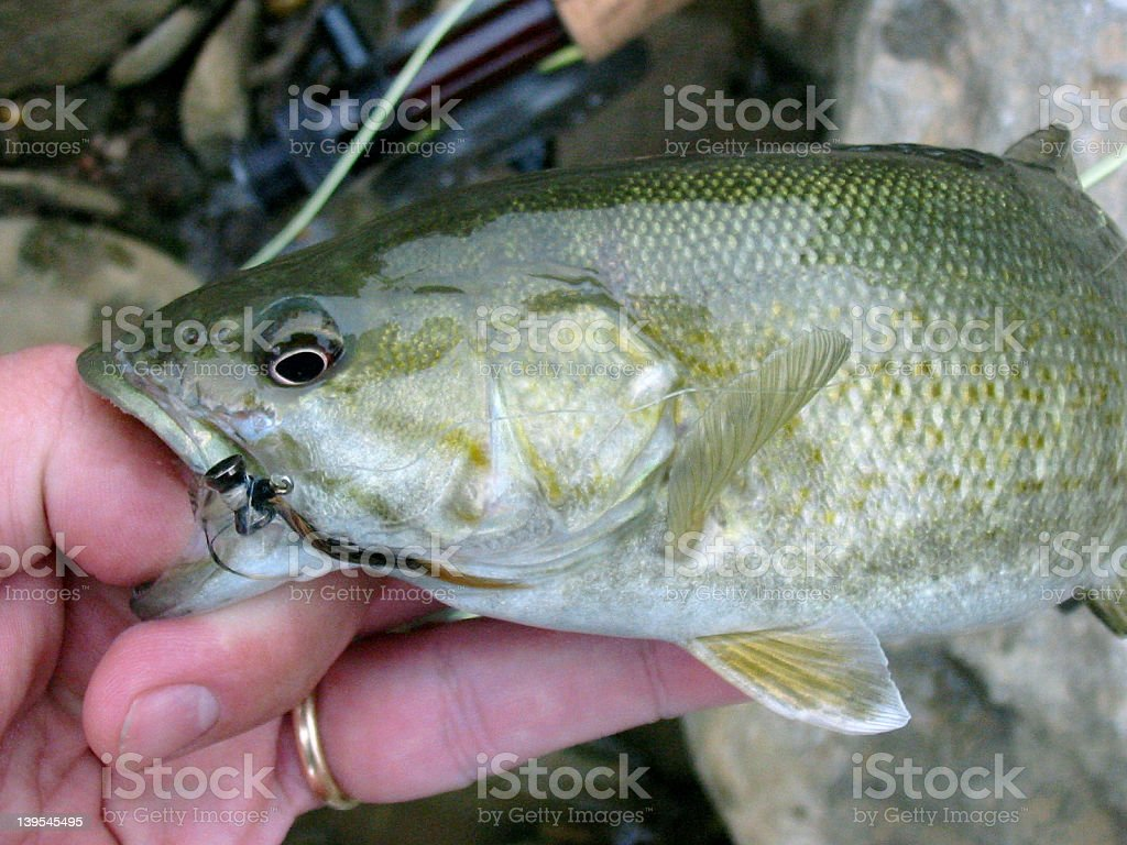 Smallmouth Bass Caught royalty-free stock photo