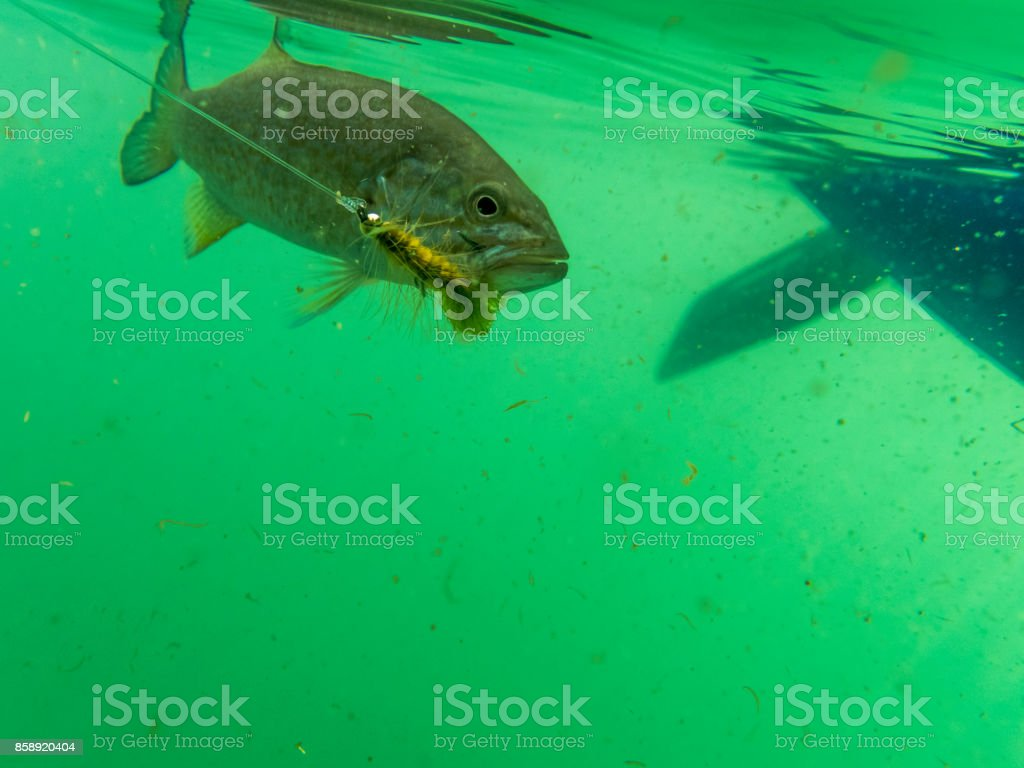 Smallmouth bass Fly in Mouth is Underwater Sunfish Pan fish stock photo