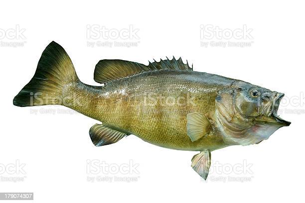 Smallmouth bass isolated on white