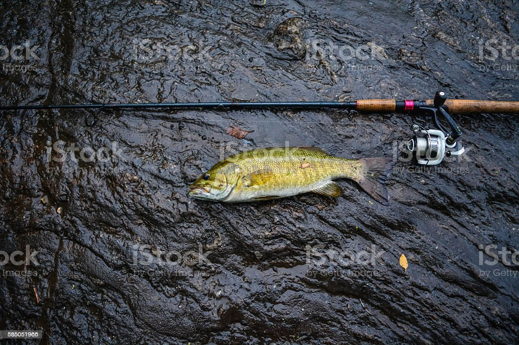 Smallmouth bass on a rock stock photo
