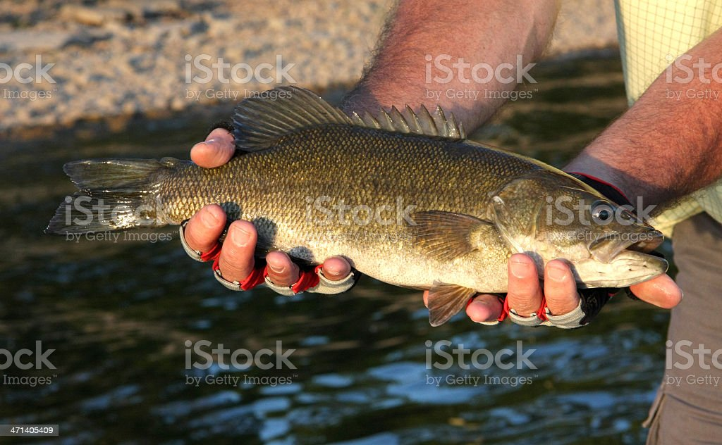 Smallmouth Bass stock photo