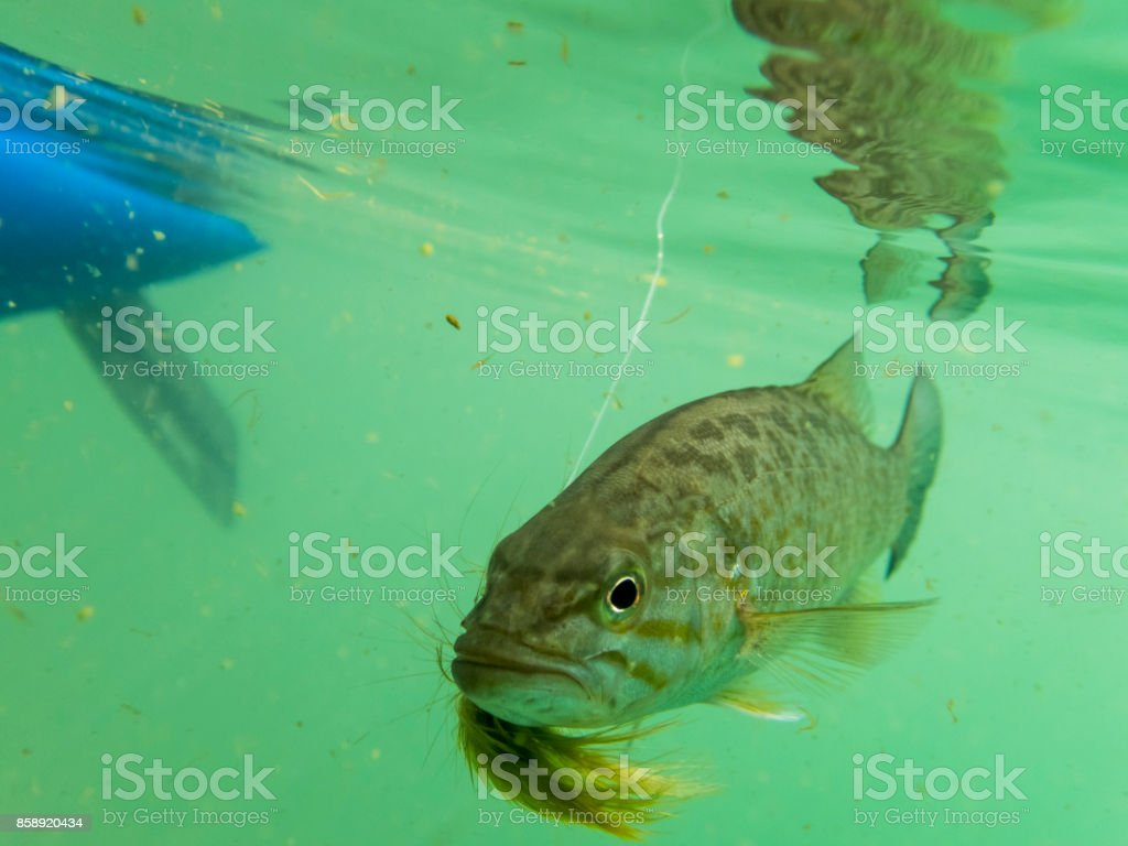 Smallmouth bass Underwater Fly in Mouth is Sunfish Pan fish stock photo
