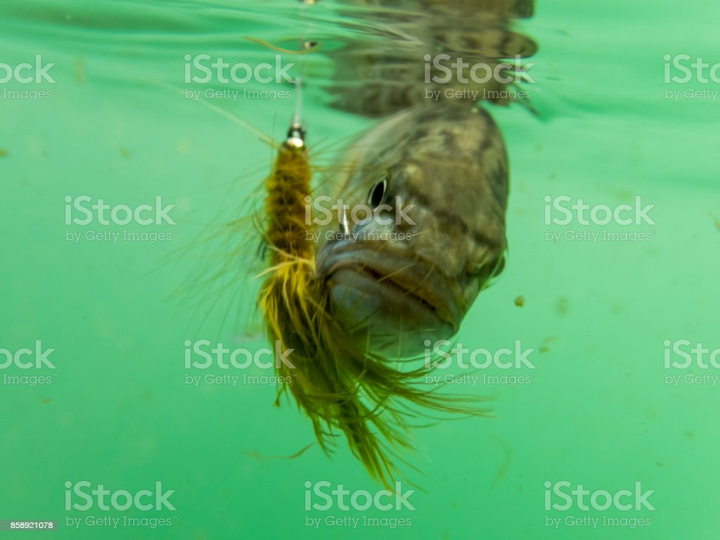 Smallmouth bass Underwater Hook in Mouth is Pan fish Sunfish stock photo