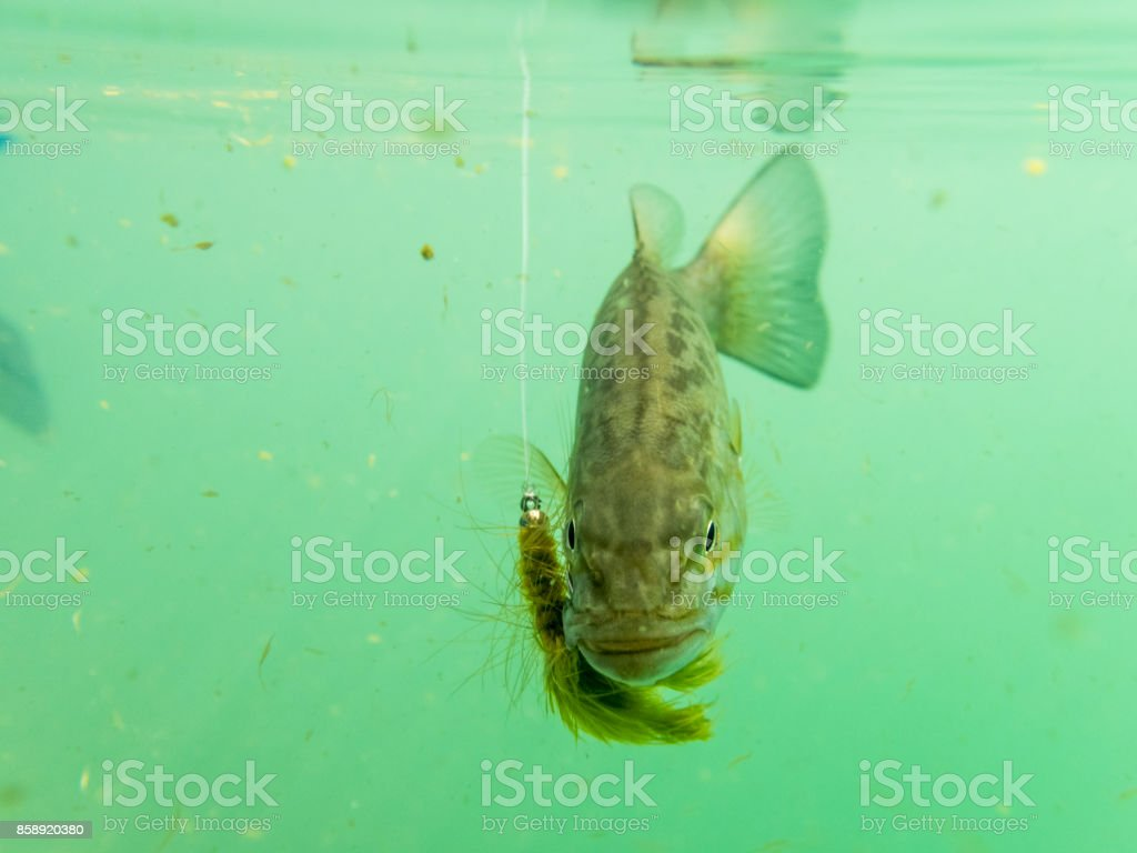 Smallmouth bass Underwater Hook in Mouth is Sunfish Pan fish stock photo
