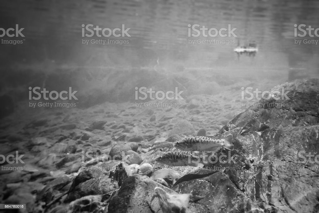 Smallmouth bass underwater stock photo