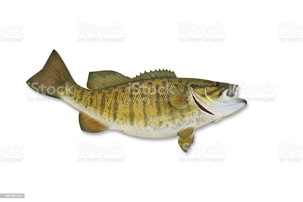 Smallmouth Bass with Clipping Path stock photo
