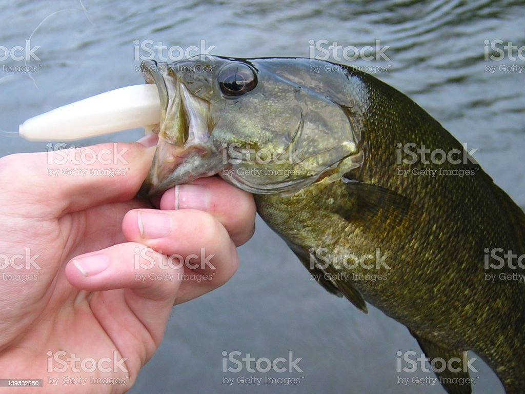 Smallmouth on a hook royalty-free stock photo