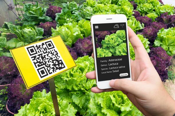 Agricultura inteligente, granja. Etiquetas de planta de código QR interactivo y signos y la mano utilizando el detalle de la aplicación de teléfono móvil con el plan de jardín de verduras de ensalada. - foto de stock