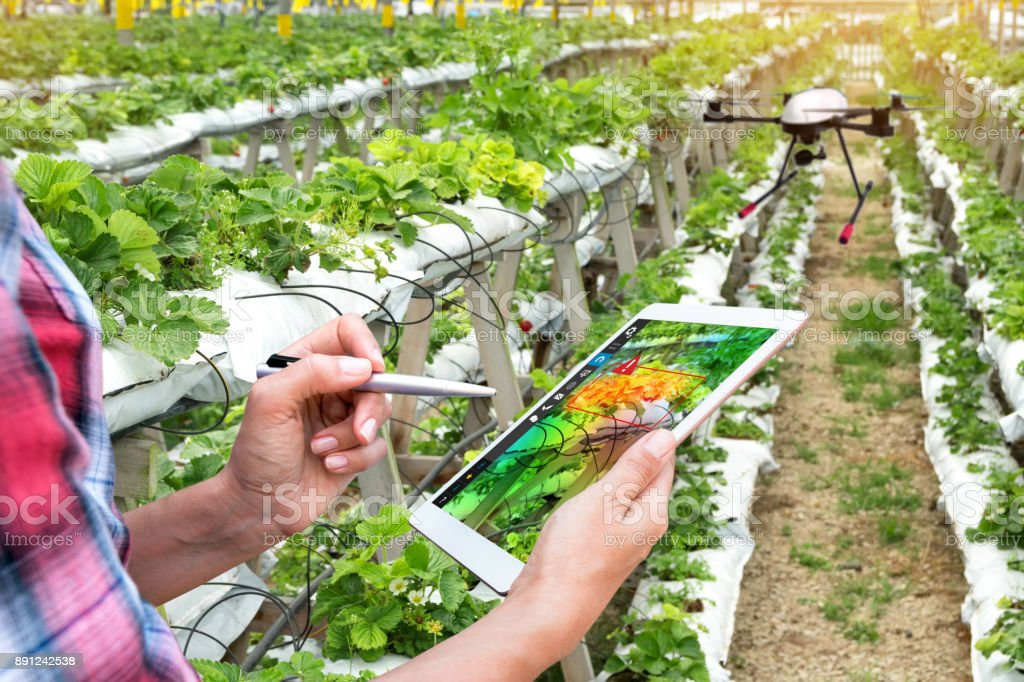 Smart agriculture , precision farming concept. Farmer using drone and NIR images application screen used to check health maps for alert disease vegetation in vertical strawberry farm with flare light. stock photo