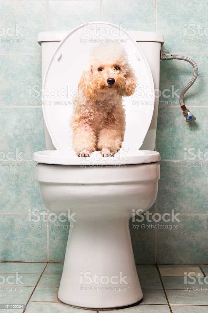 Smart biege poodle dog pooping into toilet bowl stock photo