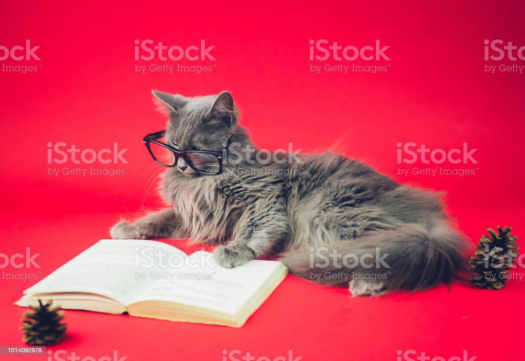 Close up portrait of a Nebelung cat leaning on an open book while...