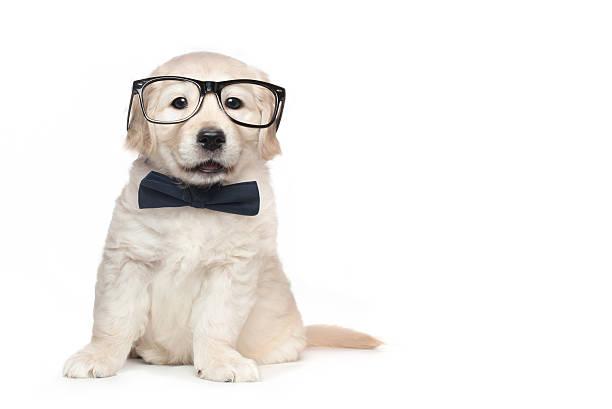 Smart Elegant Golden Retriever Puppies Smart Elegant Golden Retriever Puppies bow tie stock pictures, royalty-free photos & images