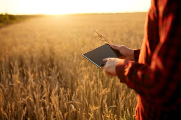 intelligente landwirtschaft einsatz moderner technologien in der landwirtschaft. mann agronom bauer mit digitalen tablet-computer im weizenfeld mit apps und internet, selektiven fokus. männliche hält ähren in der hand - digital surfer stock-fotos und bilder