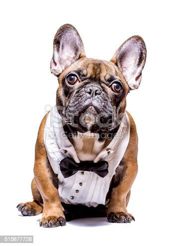 istock Smart french bulldog 515677726
