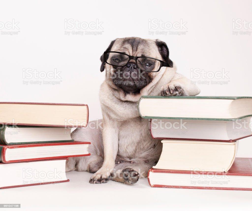 slimme intelligente pug puppy hondje met Leesbrillen, zitten tussen stapels boeken foto