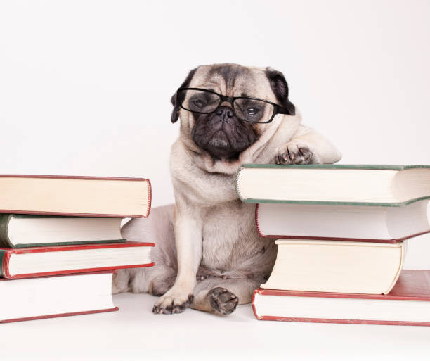 smart intelligente mops welpen hund mit lesebrille, sitzen zwischen haufen bücher - humor bücher stock-fotos und bilder
