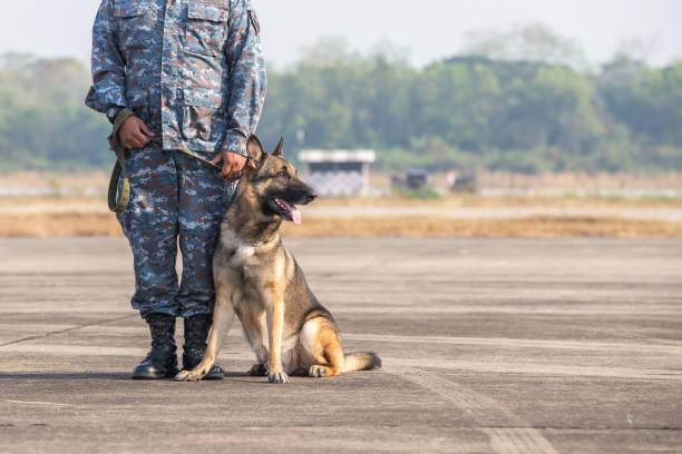 Smart police dog sitting outdoors. Brown German Sheepdog Sitting On Ground. Guard Dog, Police Dog stock photo