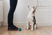 Cute Siberian Husky puppy sitting on the floor at home and looking at owner.