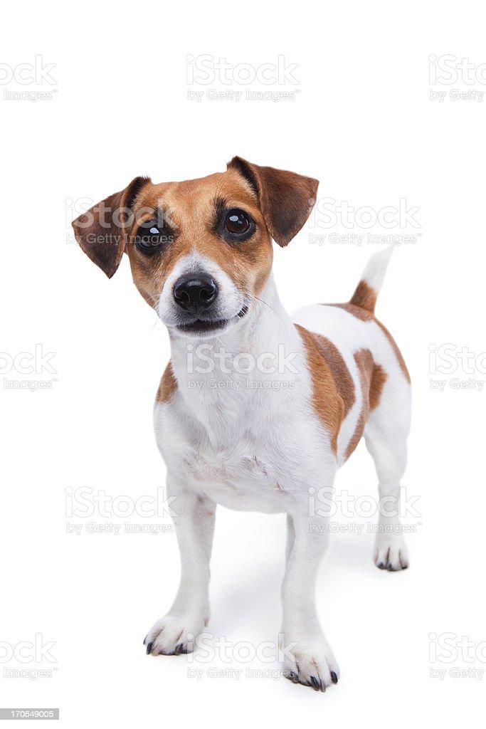 Smart small dog stock photo