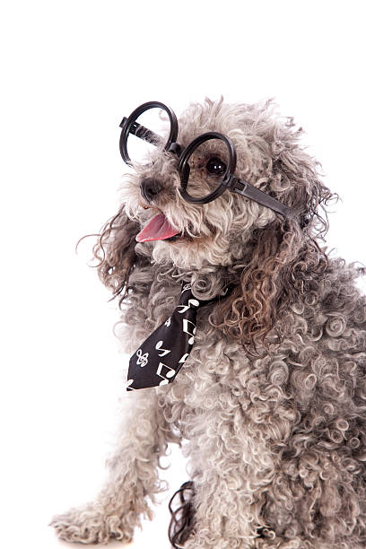 smart toy poodle - lange zottige frisuren stock-fotos und bilder
