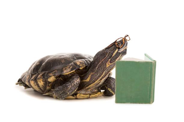 intelligente schildkröte lesebuch - humor bücher stock-fotos und bilder