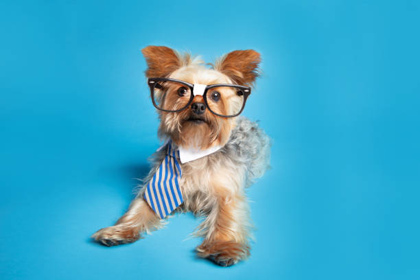 Smart Yorkshire Terrier in Nerd Brille – Foto