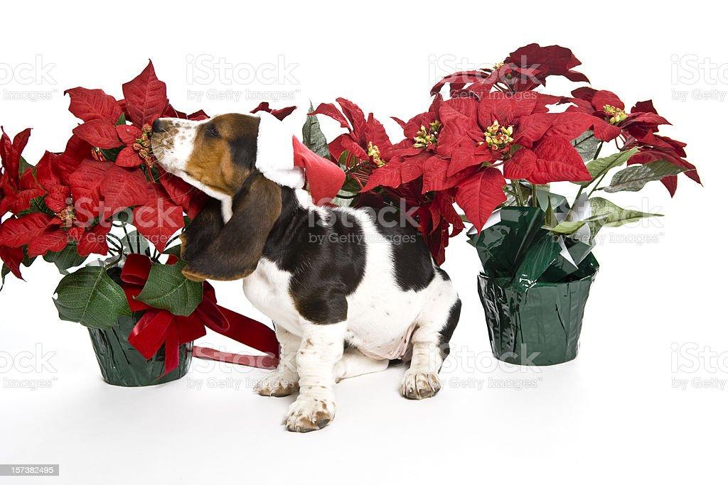 Smelling Poinsettias royalty-free stock photo