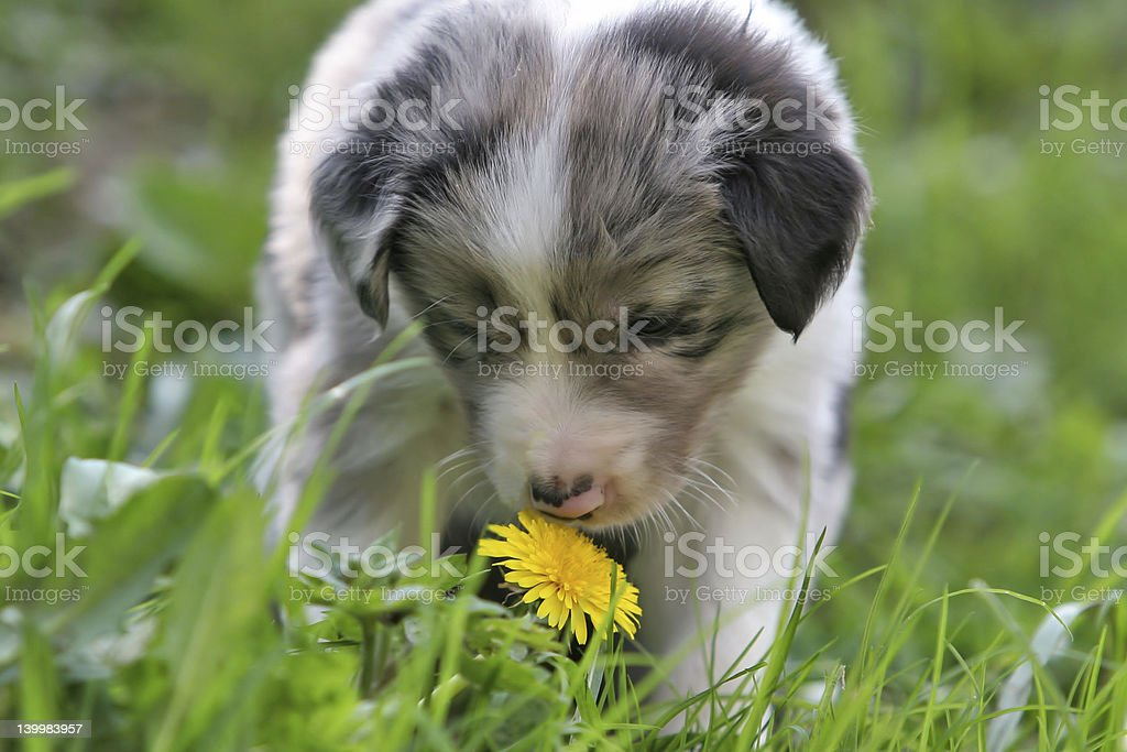 Smelling the dandelion royalty-free stock photo