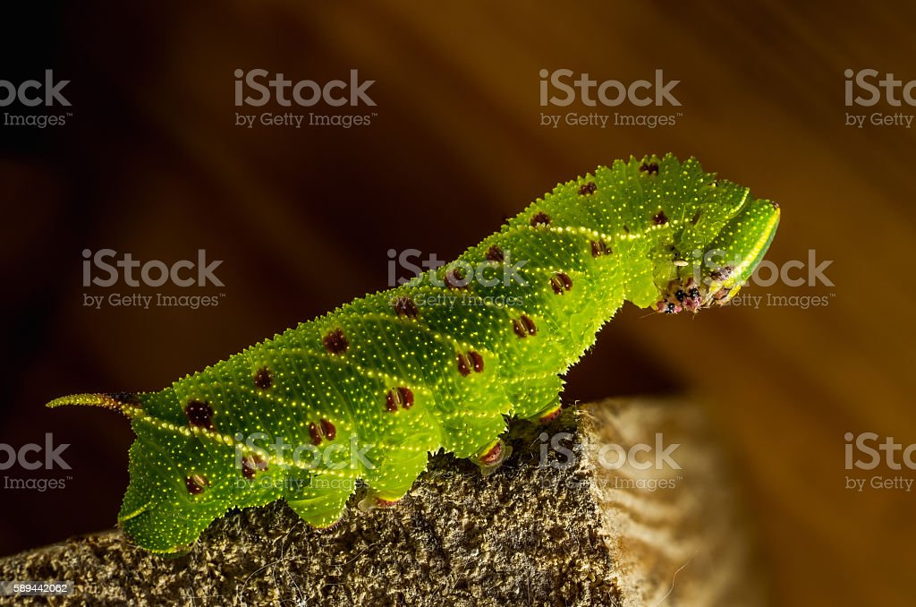 Smerinthus caecus caterpillar crawling on piece of wood stock photo