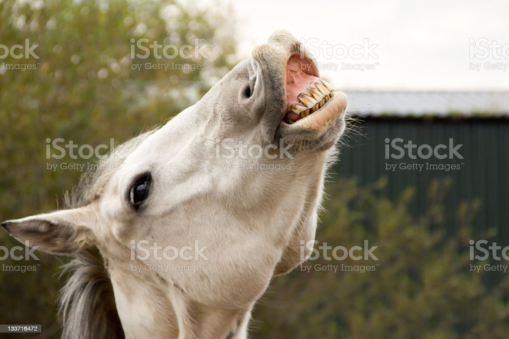 Smile for the camera!-horse with toothy grin. stock photo