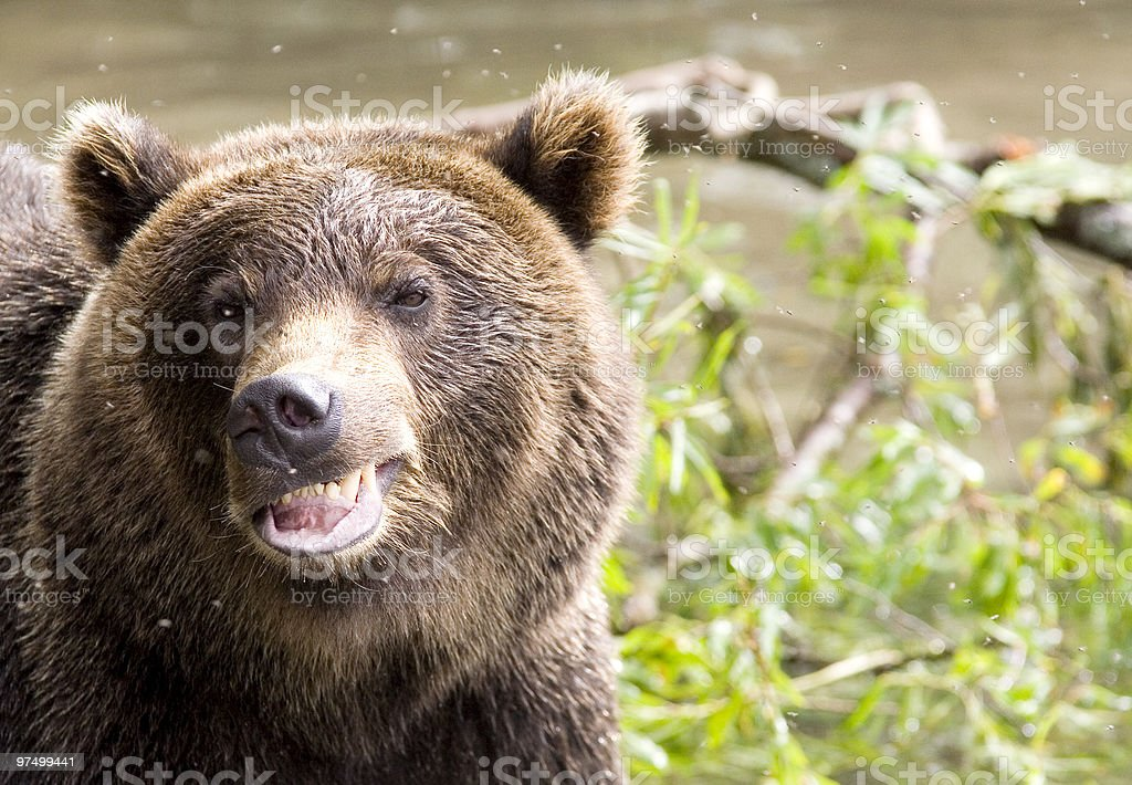 Smile of a bear royalty-free stock photo