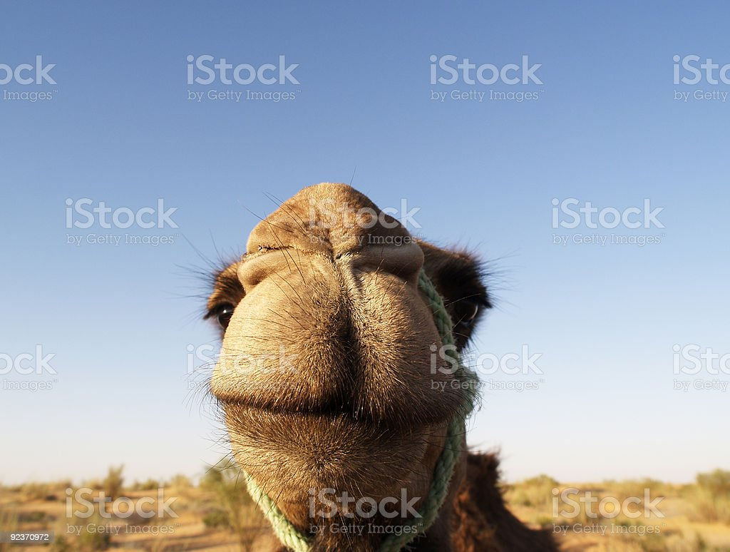 Smile of a Camel royalty-free stock photo