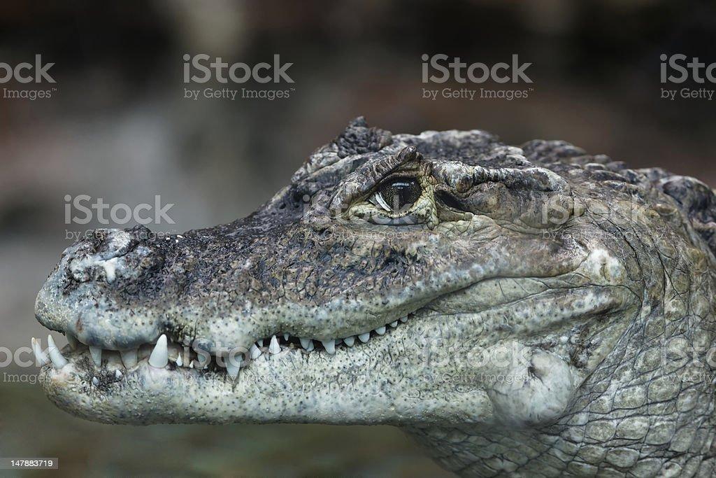 Smile of crocodile stock photo