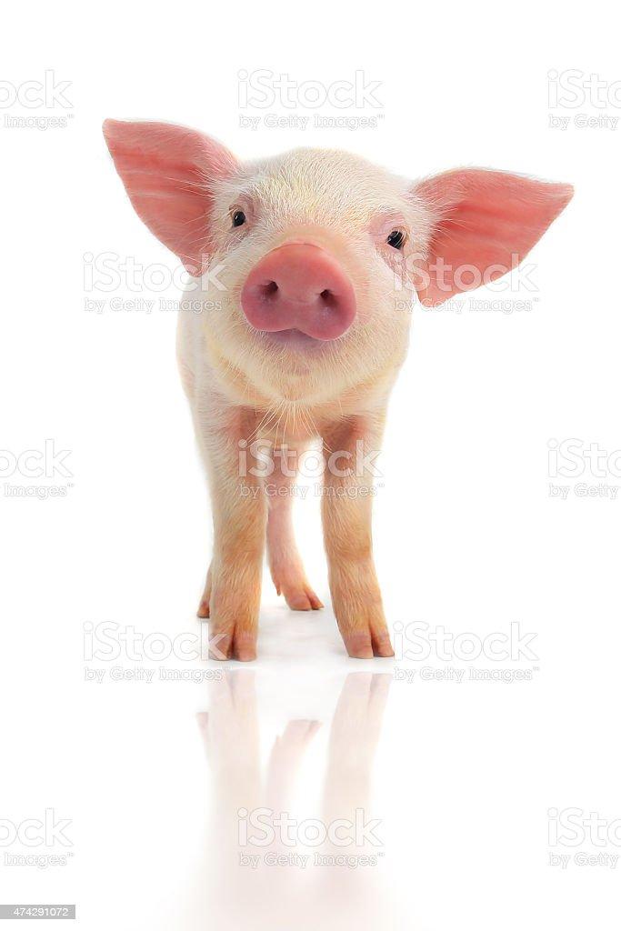 smile pig stock photo