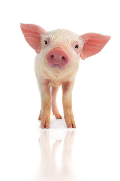 lächeln schwein - pig ugly stock-fotos und bilder