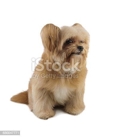 istock Smile Puppy 530047771