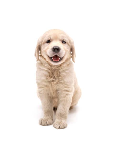 Smiles golden retriever puppy on white background picture id1131376959?b=1&k=6&m=1131376959&s=612x612&w=0&h=vqwx ocaiqrevsunuacho r7xatlwpwpepge 0ec99k=