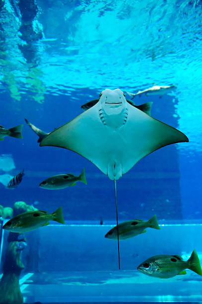 Smiley Ray in the aquarium, Dubai, UAE stock photo
