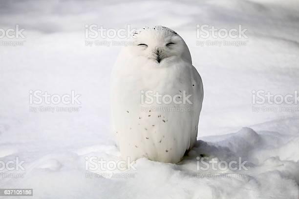 Smiley snowy owl picture id637105186?b=1&k=6&m=637105186&s=612x612&h=vmj1 dhnzka13pcro8hwaf4jxm9kzmgzgexiheh0e70=