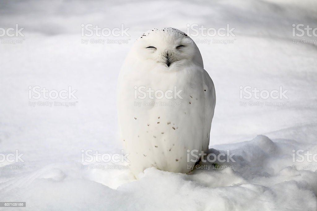 Smiley snowy owl stock photo