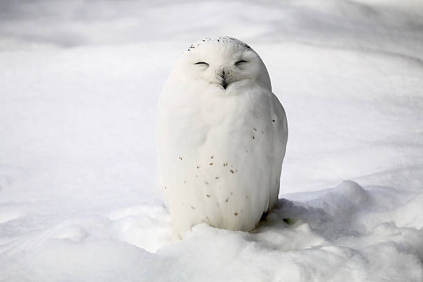 smiley snowy owl - owl stock photos and pictures