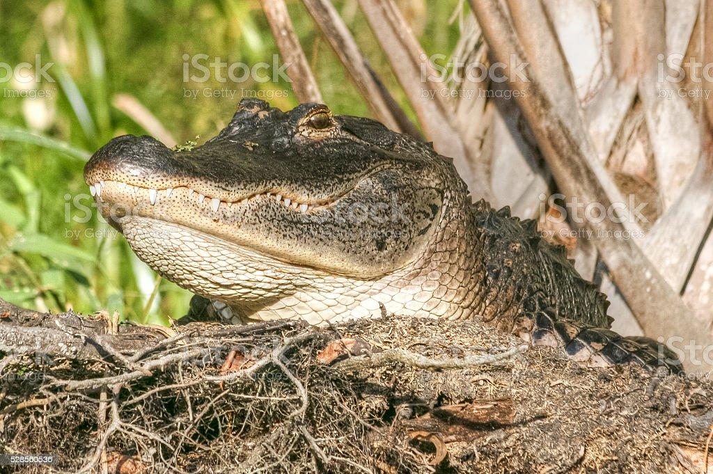 Smiling Alligator stock photo