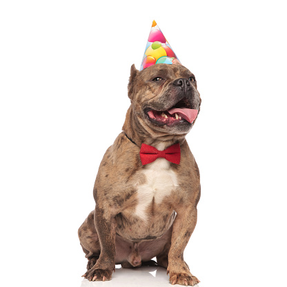 istock smiling american bully wearing birthday hat and bowtie 1202286826
