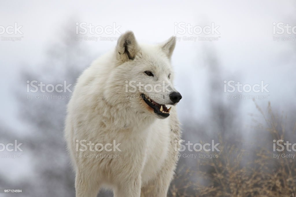 Smiling Arctic Wolf stock photo