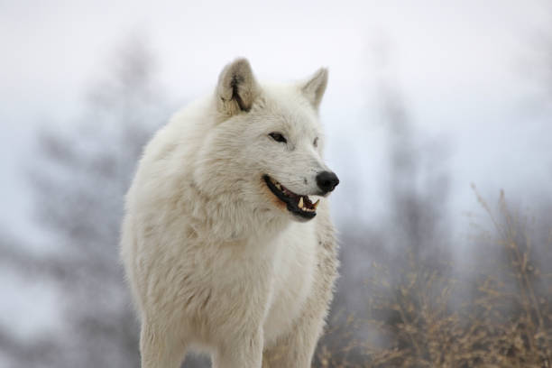 Smiling Arctic Wolf stock photo