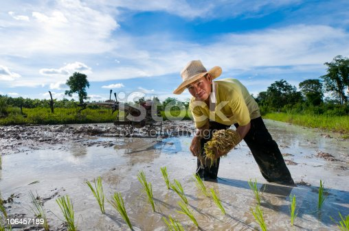 istock Smiling Asian farmer harvesting rice from field 106457189